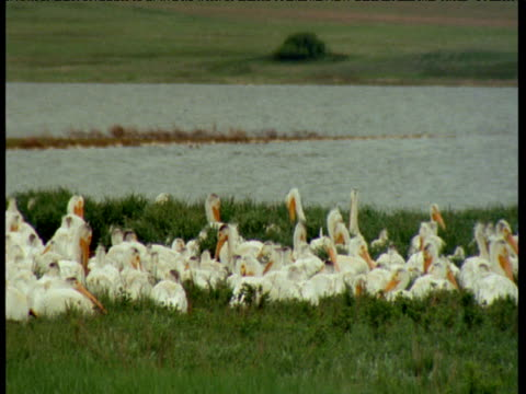 "vidéos et rushes de pan left over colony of white pelicans, north dakota - ""bbc natural history"""