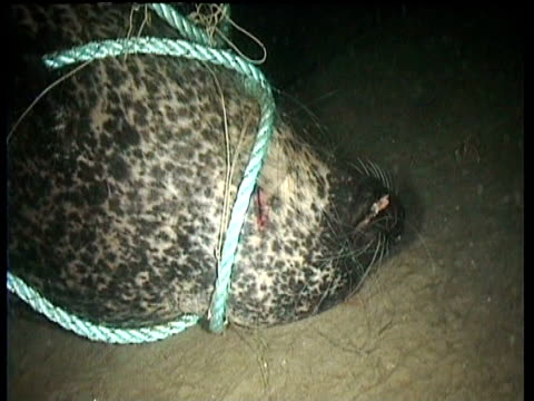 Pan left over dead grey seal tangled in rope and fishing line on bottom of fjord, Norway