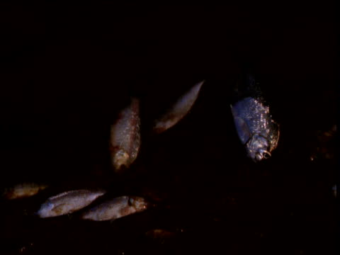 Pan left over dead suffocated fish at edge of waterhole, Ormiston Gorge, Northern Territory, Australia