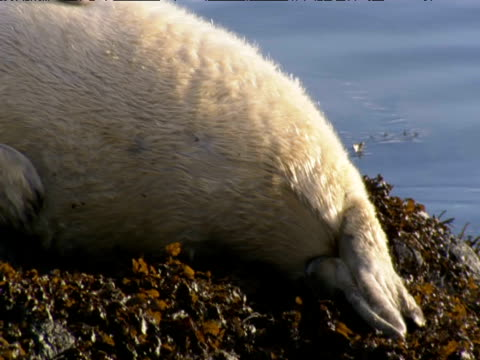 pan left over dozing grey seal pup on beach - grey seal stock videos & royalty-free footage