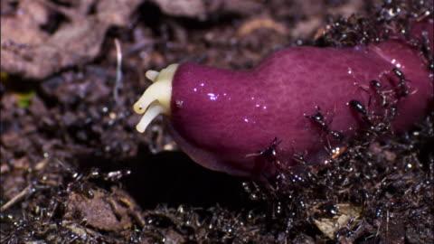 vídeos y material grabado en eventos de stock de pan left over driver ants (dorylus molestus) attacking large slug. - grupo grande de animales