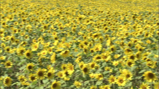 Pan left over field of sunflowers in bloom