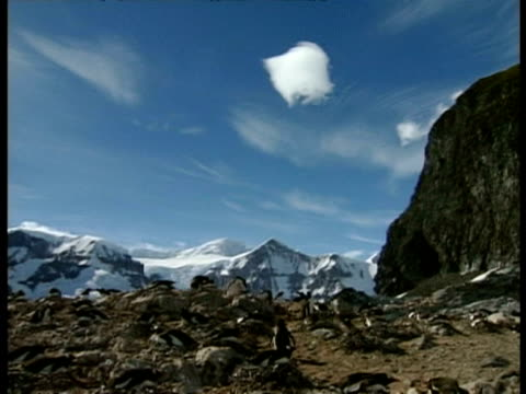 vidéos et rushes de wa pan left over gentoo penguin colony, snowy mountains in background, antarctica - colony