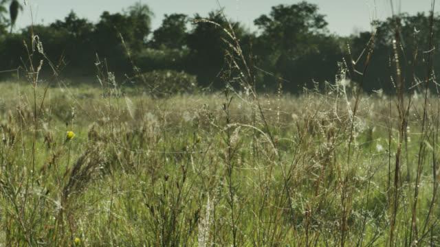 Pan left over gossamer strands on Pantanal grassland.