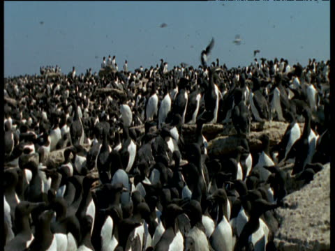 vidéos et rushes de pan left over guillemot colony, funk island, canada - colony