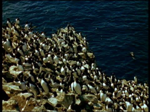 vidéos et rushes de pan left over guillemot colony on cliff edge, blue sea in background, iceland - colony