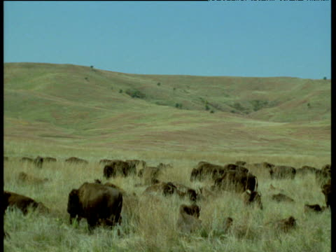 pan left over herd of bison grazing on prairie, custer state park, north dakota - custer staatspark stock-videos und b-roll-filmmaterial