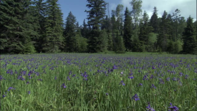 vidéos et rushes de pan left over iris flowers (iris setosa) in meadow, changbaishan national nature reserve, jilin province, china - fleur sauvage