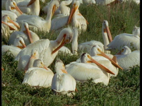 "vidéos et rushes de pan left over preening colony of white pelicans in colony, north dakota - ""bbc natural history"""