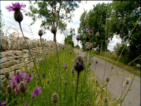Pan left over purple flowers on grassy verge by side of country road to stone wall trees line road Cotswolds