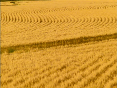 Pan left over rows of swaying golden wheat crops in field