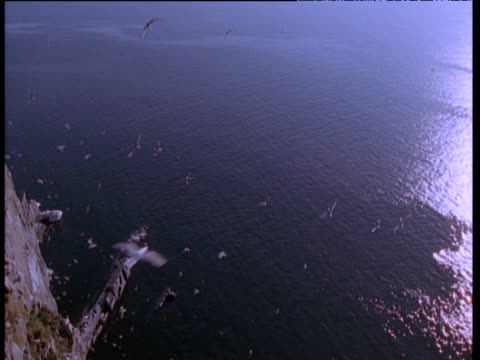 "vidéos et rushes de pan left over seabirds circling near cliffs, talan island - ""bbc natural history"""