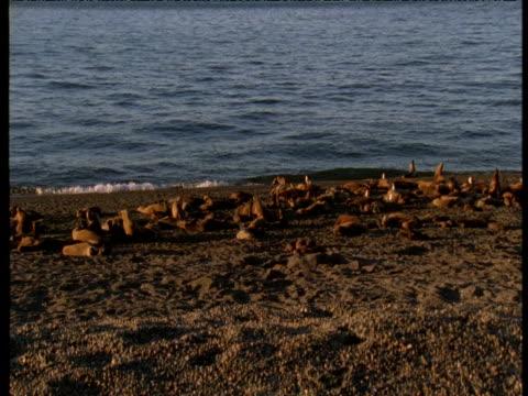vidéos et rushes de pan left over sealion colony on beach, punte norte, argentina - colony