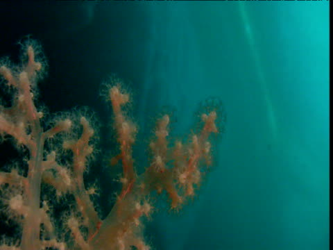 pan left over soft coral, arctic northwest territories - soft coral stock videos & royalty-free footage