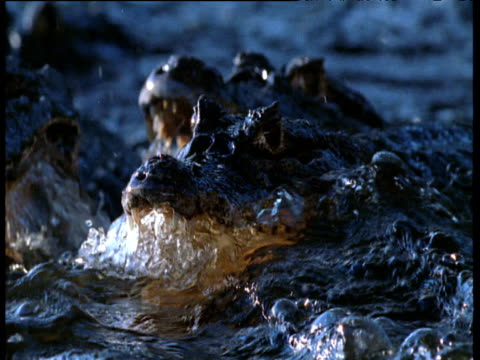 pan left over spectacled caimans lying with jaws agape, fishing in rapids - 可能性点の映像素材/bロール
