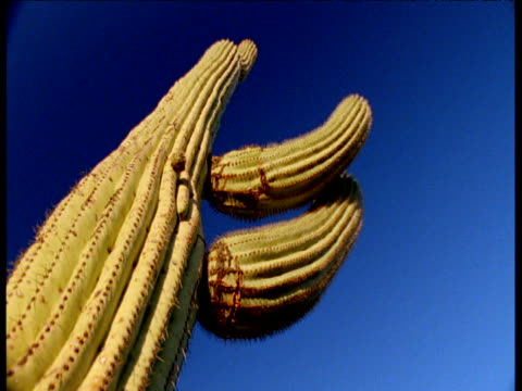 pan left over tall saguaro cactus against blue sky, arizona - cactus texture stock videos & royalty-free footage