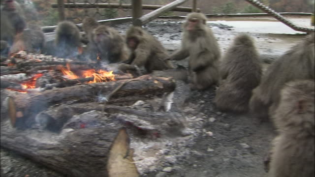 pan left over troop of japanese macaque monkeys sitting around fire, japan monkey park, inuyama, aichi - primate stock videos and b-roll footage