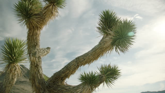 pan left shot of a joshua tree in the desert of nevada - tropical bush stock videos and b-roll footage