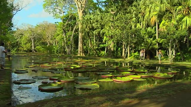 pan left shot water lily pamplemousse port louis mauritius  - lily stock videos and b-roll footage