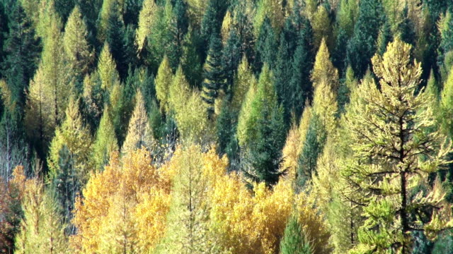 vídeos y material grabado en eventos de stock de pan left telephoto shot of golden fall colored trees in evergreen forest. - pinaceae