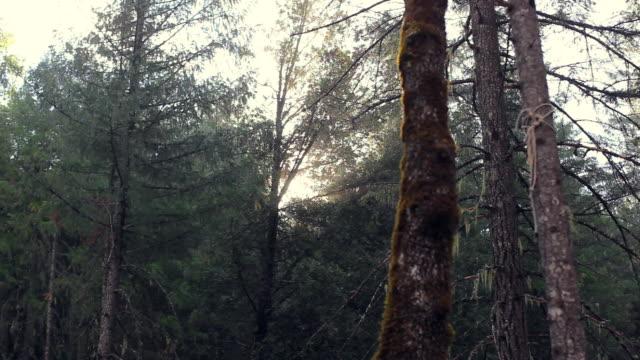 vídeos de stock, filmes e b-roll de pan left to right: sunset in the forest of usa - ramo parte de uma planta