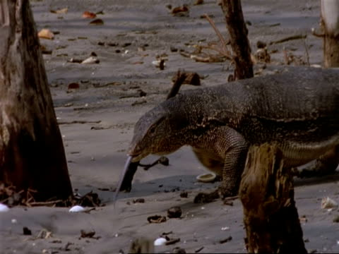 ms pan left, water monitor lizard walking through mangrove swamp, india - water monitor stock videos and b-roll footage