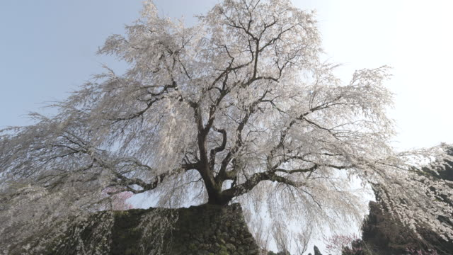 pan left, white cherry blossoms in osaka - satoyama scenery stock videos and b-roll footage