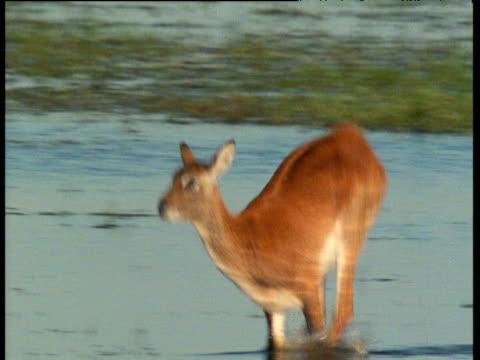 Pan left with Lechwe as it leaps through Bangweulu swamp