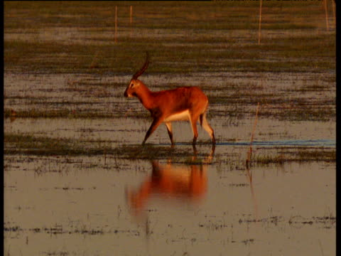 Pan left with male Lechwe as it wades through Bangweulu swamp