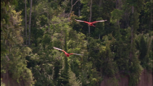 Pan left with two Scarlet Macaws as they land in tree Available in HD.