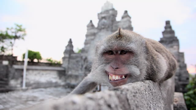 pan: monkey shows teeth in ubud, bali - 歯点の映像素材/bロール