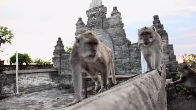pan: monkeys walking along a wall in ubud, bali - ubud district stock videos & royalty-free footage