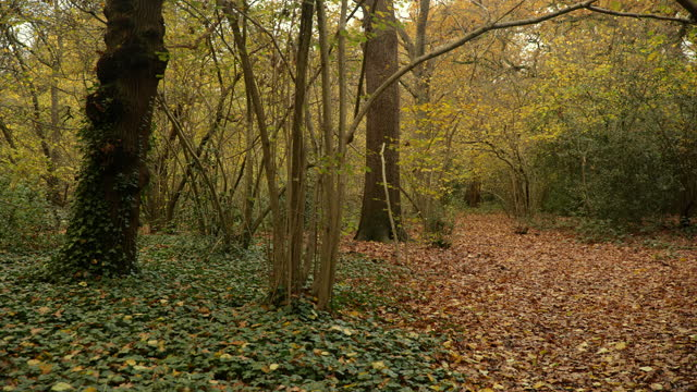 pan oak woodland in autumn - woodland stock videos & royalty-free footage