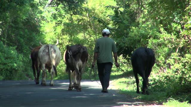 pan of a man herding cows in nicaragua   - nicaragua video stock e b–roll