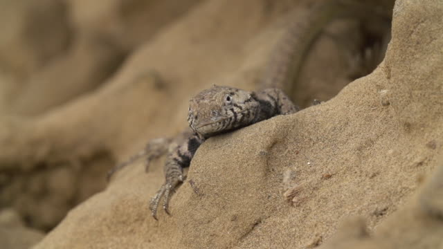 Pan of a Peruvian Lizard
