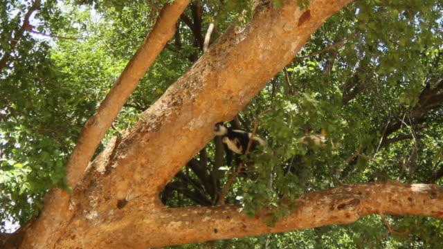 vídeos de stock, filmes e b-roll de pan of monkey in tree - tempo real