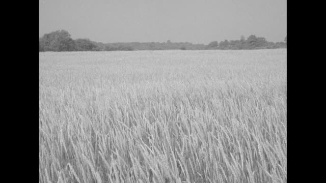 vidéos et rushes de pan of peaceful farmland / vs a field of wheat in a light breeze / a decrepit house / vs a man's hand dislodges small rocks stuck in the side of an... - ohio