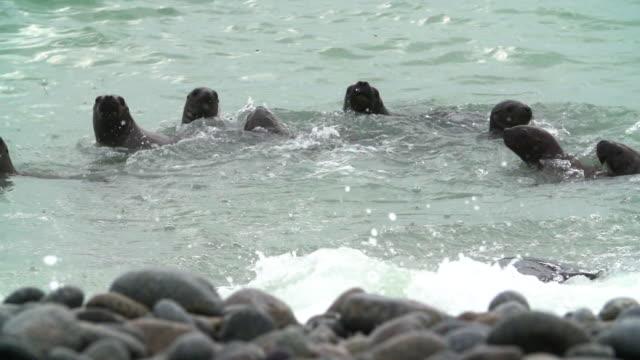 pan of sea lions splashing in sea water - uruguay stock videos & royalty-free footage