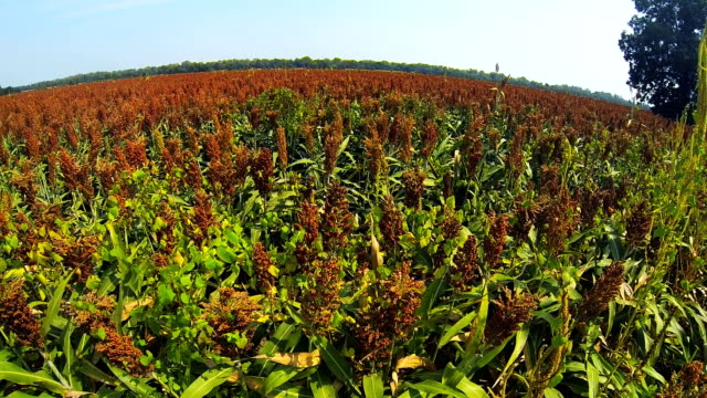 pan of sorghum or milo field - sorghum stock videos & royalty-free footage