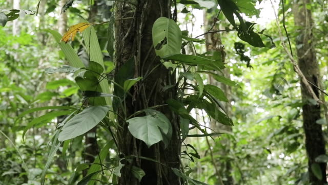 vidéos et rushes de pan of tropical tree with tangled roots in the peruvian amazon - forêt tropicale humide