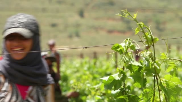 pan of vineyard cu on plants workers taking care of grape vines ts on women working in field - lavoratore emigrante video stock e b–roll