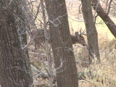 pan of whitetail buck walking in woods - white tailed deer stock videos & royalty-free footage