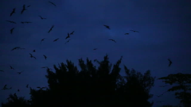 vidéos et rushes de pan on frigatebirds flying over eery treetops in dark, moonlit sky - mauvais présage
