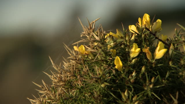 vídeos de stock e filmes b-roll de pan onto a close-up of a prickly, richly-coloured gorse (also known as furze) bush with cobweb, wales, uk. - espinho