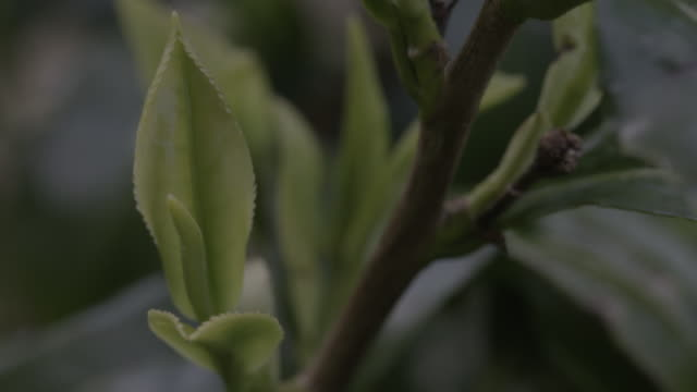 pan onto a close-up of waxy tea leaves growing on a bush, uk. - stem topic stock videos & royalty-free footage