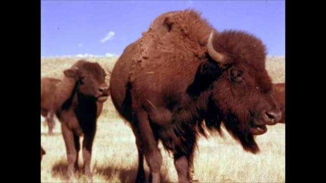 pan over bison on prairie under blue sky - american bison stock videos & royalty-free footage