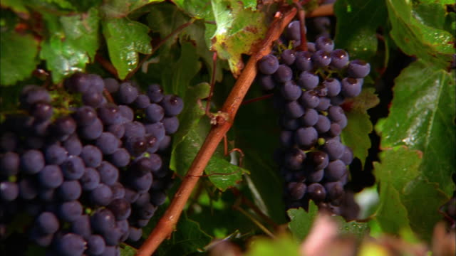 pan over clusters of ripe grapes on vine / rancho sisquoc, california - grape leaf stock videos and b-roll footage