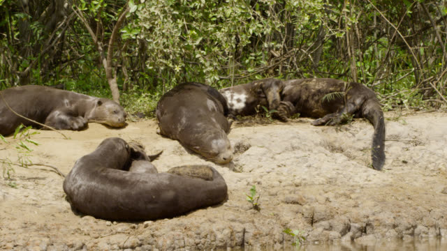 pan over family of giant river otters (pteronura brasiliensis) relaxing on river bank. - laziness stock videos and b-roll footage