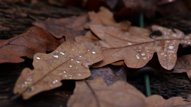 pan over oak leaves covered in water droplets - condensation stock videos & royalty-free footage