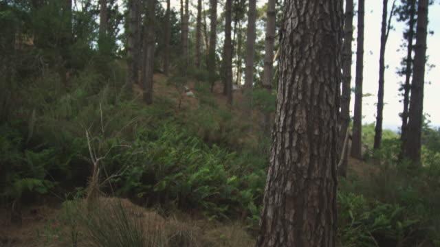 vídeos y material grabado en eventos de stock de pan over pine trees in forest, south africa, 2013 - pinar